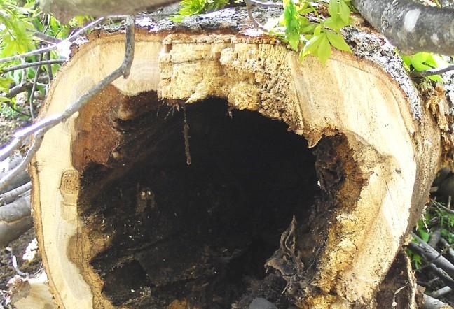 Rotten Tree